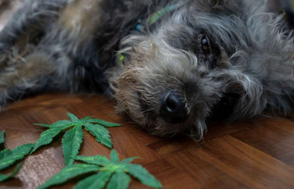 CBD for Pets, CBD for Pets – Benefits and All You Need to Know, #1 USA Cannabidiol Blog